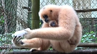 Gibbon and Her Baby Enjoy Peanuts From a Bottle - Video