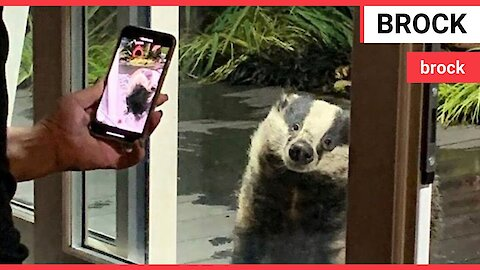 Woman feeds two generations of the same BADGER family in her garden