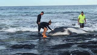 Baby Humpback Whale Trapped on Rocks Rescued by Group - Video