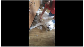 Dog getting brushed experiences true bliss