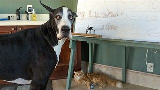 Great Dane Complains About Being Unable to Play with Cat's Toy - Video