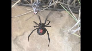 8 nightmarish things to know about black widow spiders - ABC15 Digital