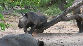 Young white rhino enjoys a good belly scratch on a tree