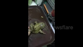 Frog born with three legs - Video
