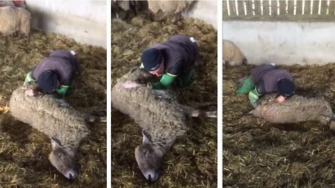 Is this UK's most squeamish farmer? Joker catches friend retching while trying to save ewe