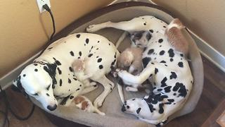 Dalmatian couple adopts 5 foster kittens