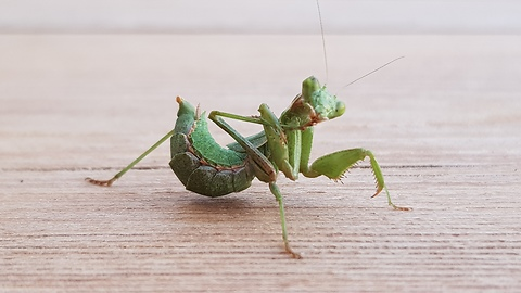 "Little mantis ""grooming"" himself in front of a camera"