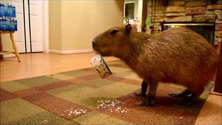 JoeJoe the Capybara Enjoys Some FroYo - Video