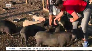 Meet the new rescue pigs at Little Bear Sanctuary in SWFL