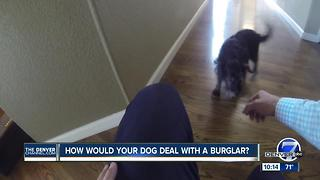 How would your dog deal with a burglar?