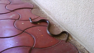Removing Beautiful Green snake from a hall  - Video
