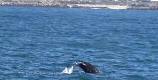 Grey whales and sea lion surprise tourists