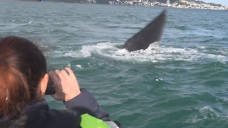 Wellington Fireworks Postponed Due to Beloved Visiting Whale - Video