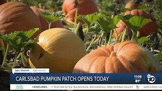 Carlsbad pumpkin patch opens today