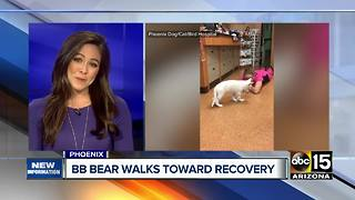 BB Bear walking after suffering skull injury - Video