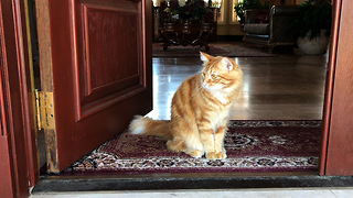 Jack the Rescue Cat is a Happy House Cat  - Video