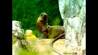 Baby Sea Lion - Video