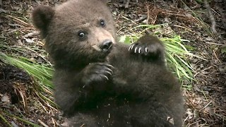 Cute Rescued Baby Bear Cubs To Be Prepared For Life In The Wild - Video