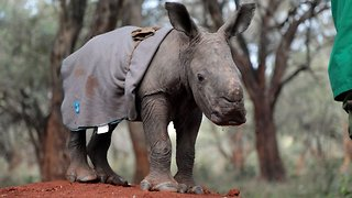Adorable baby rhino abandoned by mother finds new human family – and learns to charge