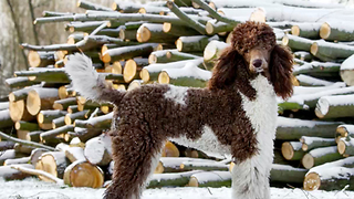 12 Fun and Furry Facts on the Poodle | Rare Animals - Video
