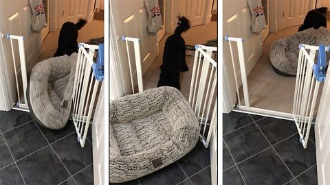 Mischievous dog drags bed and other objects around the house
