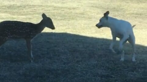 Pup tries his best to convince fawn to play with him