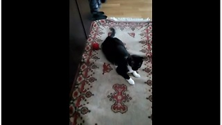 Happy Rescued Kitty Goes To Town On Toy Ball - Video