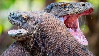 Two Male Komodo Dragons Fight for Breeding Rights - Video