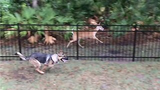 German Shepherd And Wild Deer Play Chase With Each Other Despite Fence Being Between Them