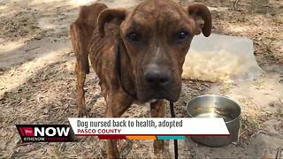 Starved dog rescued from Zephyrhills property has new forever home - Video