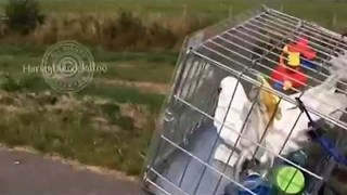 Cockatoo Loves Cycling With Dad