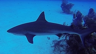 Large reef shark cruises close to divers looking for food