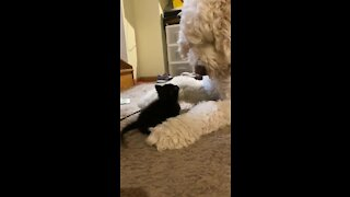 Big dog preciously plays with tiny abandoned kitten