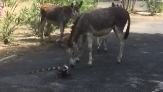 Lizard Whips Tail At Donkey - Video