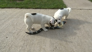 Jack Russell Terrier puppies take on RC cobra - Video