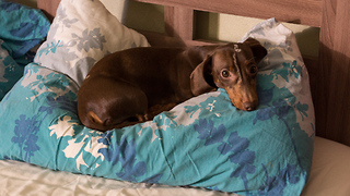 Dachshund meticulously prepares pillow for bedtime - Video