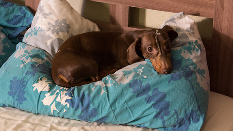 Dachshund meticulously prepares pillow for bedtime