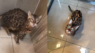 Cat that got the clean: Soggy moggy takes a daily shower with her owner - Video