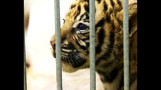 Pig Adopts Tigers - Video