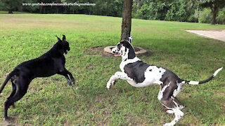 Funny Great Danes Hit the Ground Running Ready to Rumble