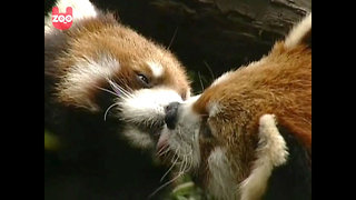 Red Pandas French Kiss - Video