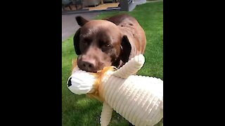 Chocolate Labrador gets very happy with his favorite toy