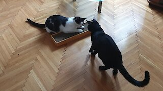 Cats try catnip for the very first time