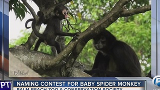 Naming contest for baby spider monkey - Video