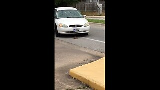 Snake attempts to bite cars as they nearly run it over in Texas
