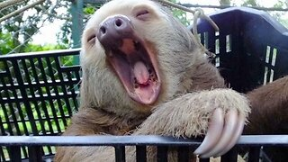 Sleepy Sloth Chills Out In Basket