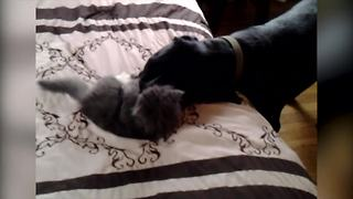 """""""Cute Kitten Plays With Big Dog"""""""