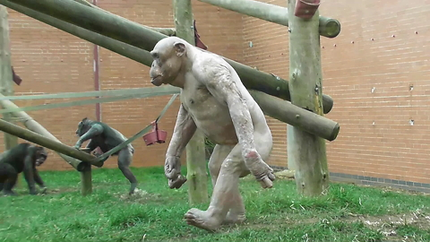 Funny compilation of monkeys walking like humans