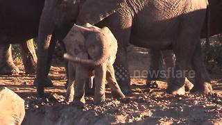 Baby Elephant Does The 'Helicopter' Swing With Its Trunk - Video