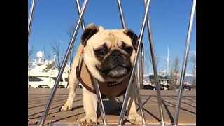 Pug Eats Clementine, But Nearly Gets Stuck in Railing - Video